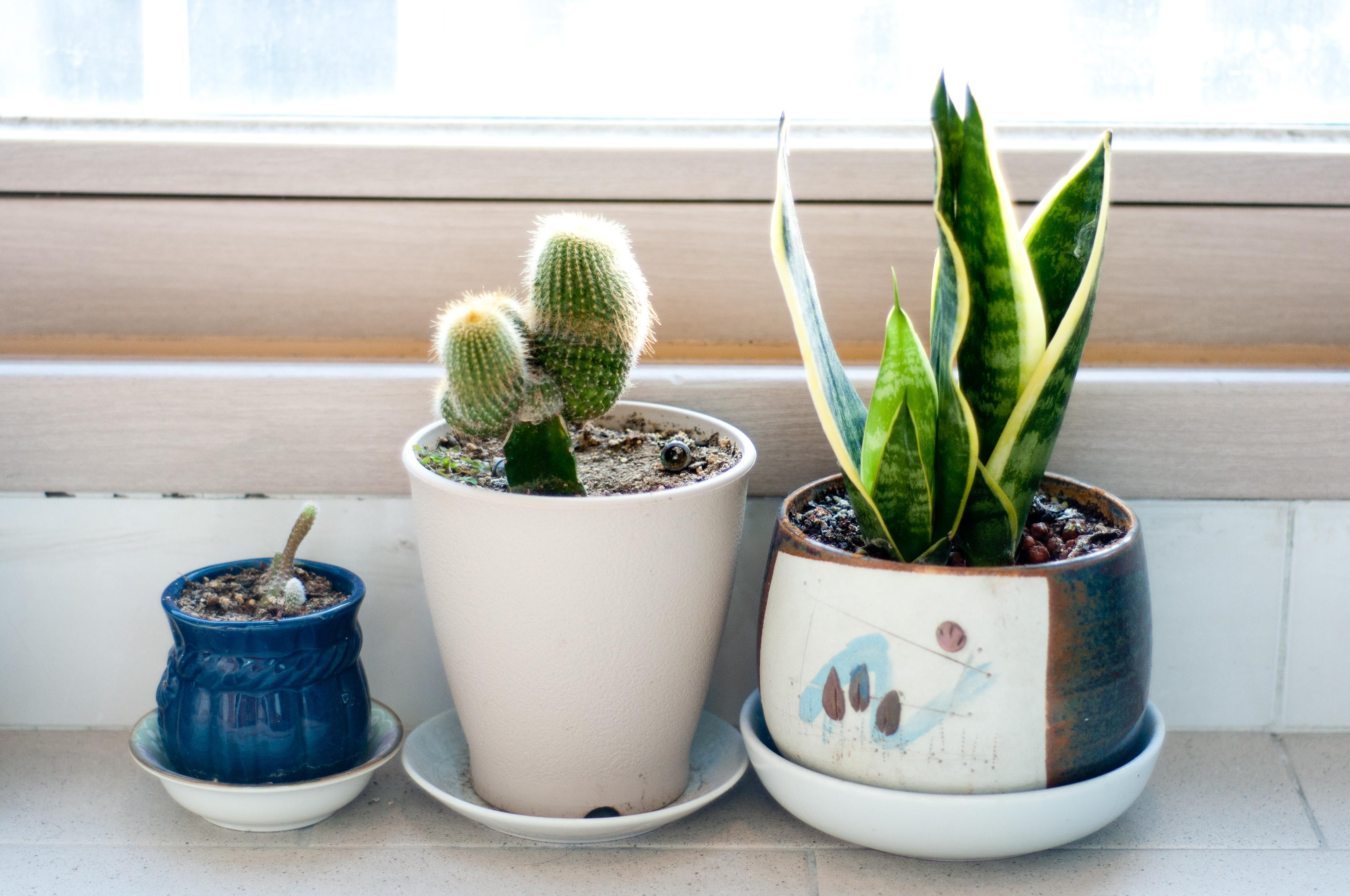 three cactus on a window sill